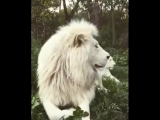 White Lion Special King