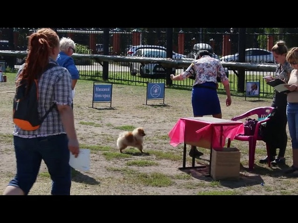 Региональная выставка собак ранга САС-КЧФ РФСС г. Нижний Новгород, щенки, померанцы