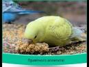 Волнистые попугайчики кормим