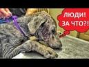Измученный Доберман.Ужасное обращение с собакой.Ветеринарное ранчо