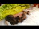 Une chatte du zoo de Novosibirsk est devenu mère d'accueil pour deux ratons laveurs nouveau nés
