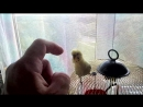 Попугай Боксер ищет партнёра для спаринга