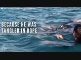 Whale Gets Tangled In Rope And Asks People For Help