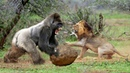OMG ! 100 Baboon vs Lion, Mother Rabbit fight with Snake to Save his baby but... 2018
