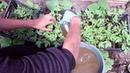 Супер удобрение сделай так Подкормка томатов перед высадкой в открытый грунт
