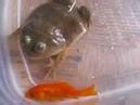 金魚vsBudgett's frog