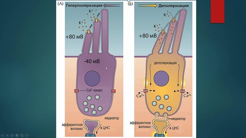 Принципы восприятия звуковых сигналов во внутреннем ухе