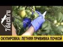 🌳 Летняя прививка плодовых деревьев. Не опоздайте! Как провести окулировку - 7 дач