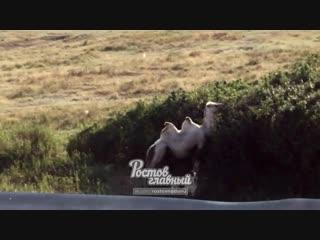Козёл и верблюд пасутся на окраине Ростова 7.2.2019 Ростов-на-Дону Главный