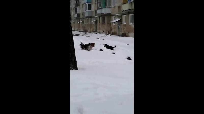Бой крысы против трёх собак