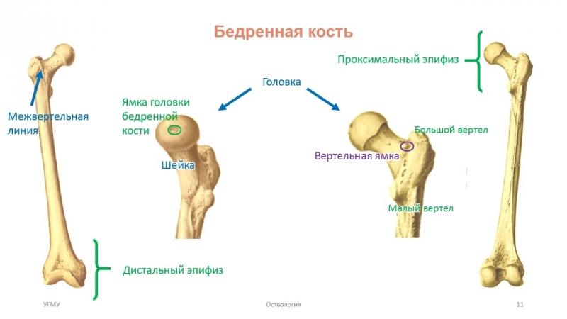 SLs Кости нижней конечности