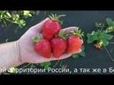 Ирма, ремонтантный сорт клубники с крупной сладкой ягодой.