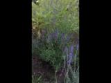 Лаванда Hidcote узколистная синяя