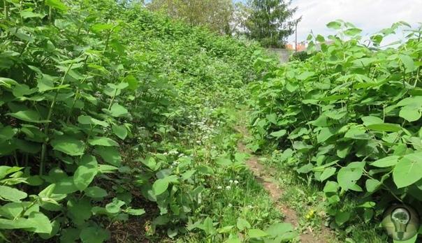 Рейнутрия японская растение, которого в Великобритании боятся как чумы. Рейнутрия японская представляет собой многолетнее травянистое растение из семейства Гречишные. Тем не менее, с гречихой