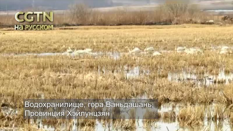 Удивительная красота! Более 200 диких белых лебедей были запечатлены в водохранилище