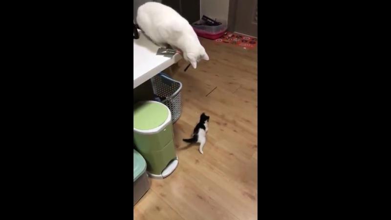 Белый кот (или кошка) словно человек играет с котенком игрушкой на веревочке. Он двигает перед котенком игрушку так, чтобы созда
