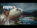 Карась. Охота на рыбалку с Вилле Хаапасало 🌏 Моя Планета