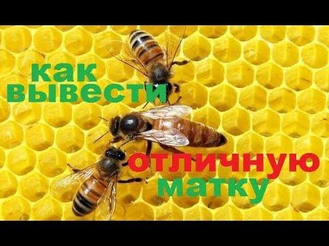 Матка для пчёл, способ выведения сильной отличной матки . Как я получаю маток первой волны.