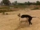Бультерьер vs булли кутта