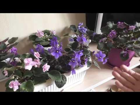Сенполия - фиалка узамбарская цветет, как ухаживать - все секреты в одном видео