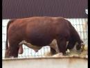 С перспективой на будущее развитие мясного животноводства в Колпашевском муниципалитете на примере чажемтовского КФХ Синицына