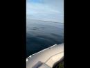Дельфины. Гремиха. Баренцево море. Сентябрь 2018