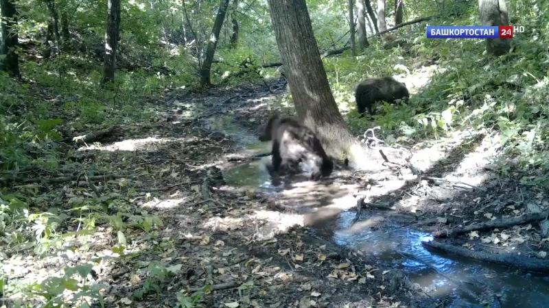 В Башкирии активизировались медведи