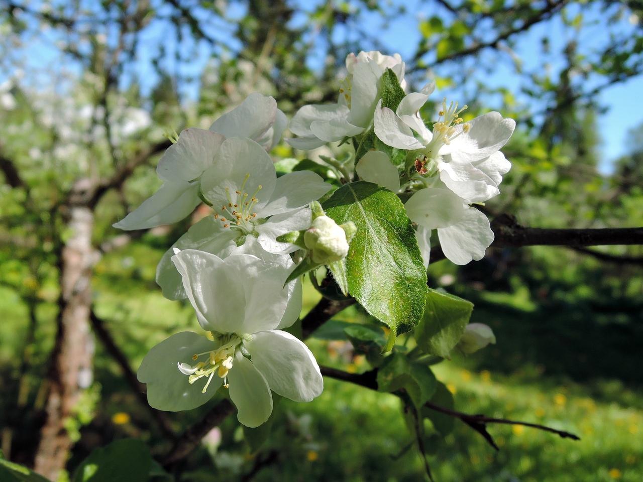 яблоневый цвет