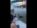 Чёрные лебеди на Чёрном озере