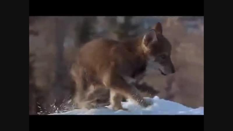 Женщина волчица