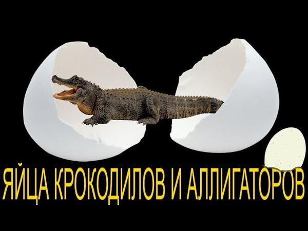 Яйца крокодилов и аллигаторов! Что такое яйца крокодила и зачем они нужны?!