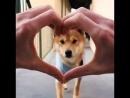 Love shiba