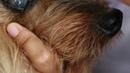 У старого австралийского шелковистого терьера помутнела роговица: второе мнение / An old Silkie has a cloudy cornea - 2nd opinion from Toa Payoh Vets
