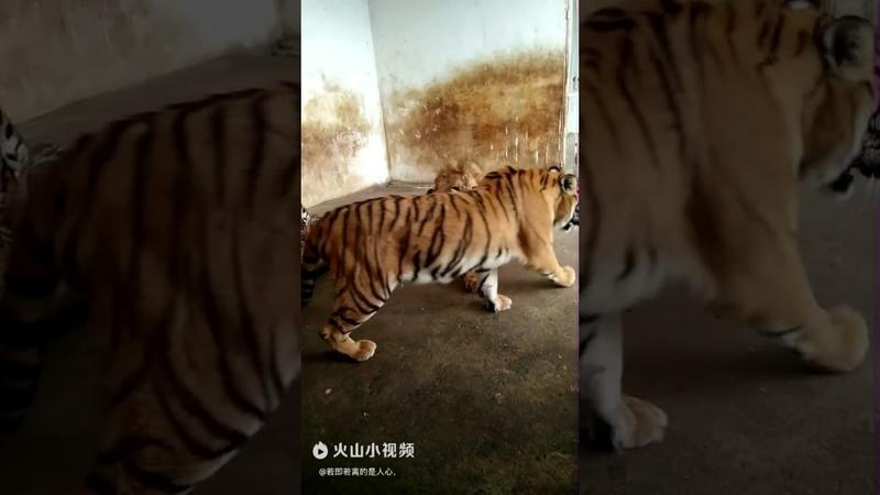当老虎遇到狮子