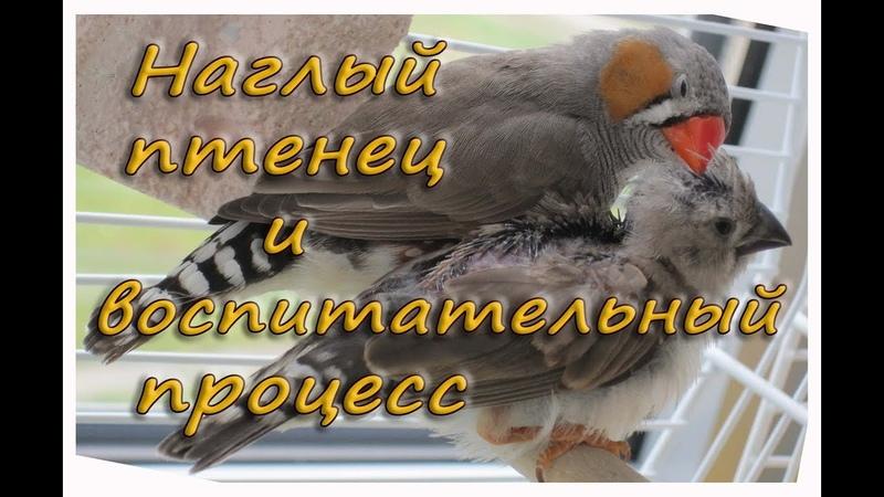НАГЛЫЙ ПТЕНЕЦ требует кормежки. Учись есть САМ. Зебровые амадины. The Zebra finches. Finch bird