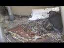 [День 16] - конкретно похолодало, но птенцы держатся стойко, голубь с ними в гнезде