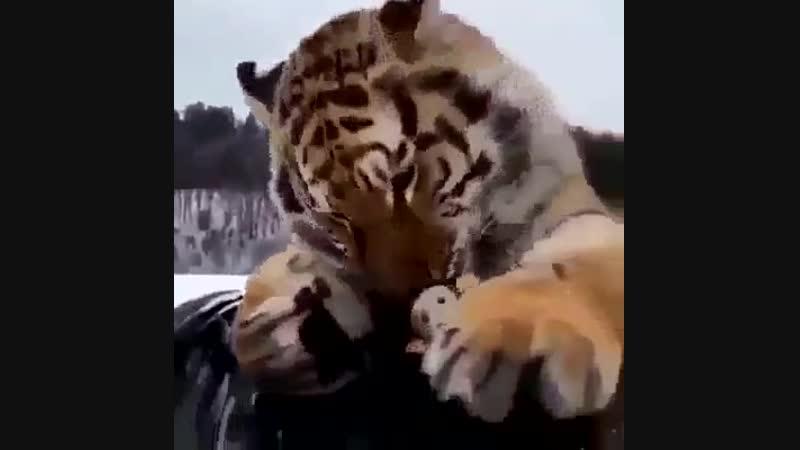 Такой большой кот, а всё в игрушечки играет
