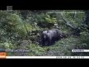 Медведица c тремя медвежатами вышли к людям в районе Бобрового лога