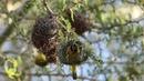 Lesser masked weaver Средний масковый ткач Ploceus intermedius