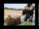 DINO FERREIRA-Leão se da mal ao enfrentar gorila incrivel !!