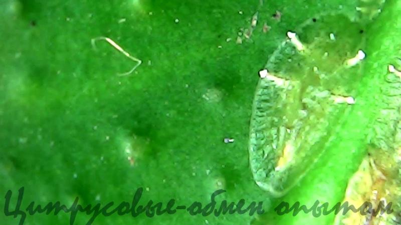 Щитовка и лист цитруса под микроскопом.