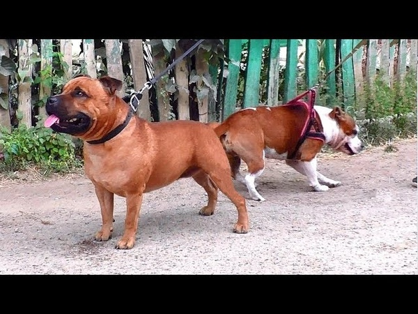 Английские стаффордширские бультерьеры Буч и Пеппи. English Staffordshire Bull Terriers.