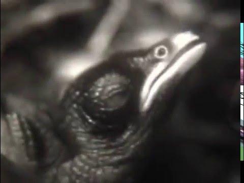 Гнездовой паразитизм кукушки