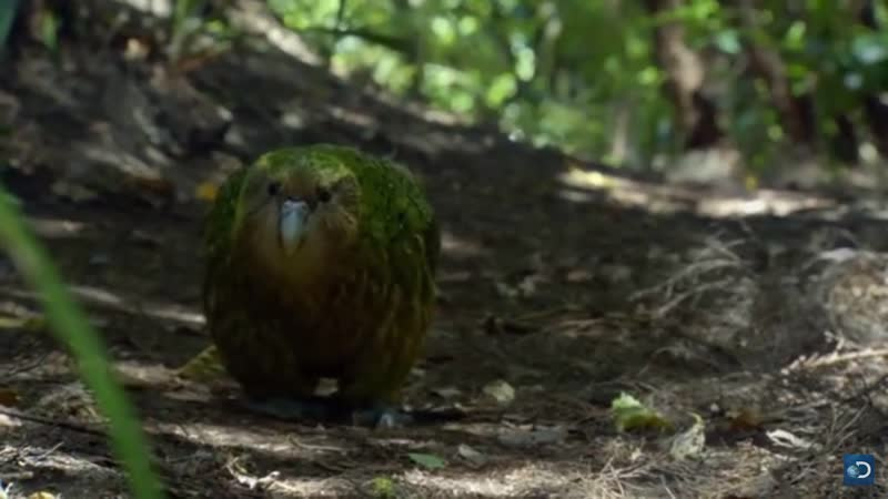 The Kakapo is a flightless, ground-dwelling parrot. Despite it being thought to be one of the world's longest-living birds, ther