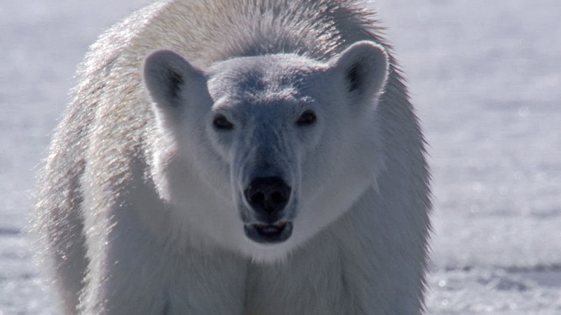 Polar Bear Stalks and Attacks Seal