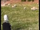 Услышат ли овцы голос пастуха Эксперимент