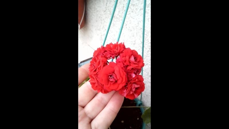 Розебудная пеларгония сорт Botans Roda