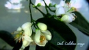 Подборка цветения цитрусовых