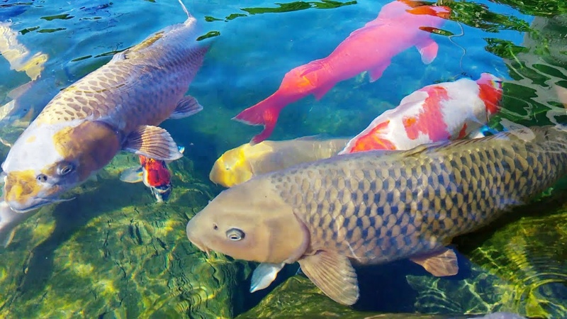 Đàn cá cảnh to và đẹp lộng lẫy | Công viên đá mang đậm bản sắc Nhật Bản