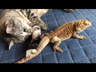 Котик играется с линькой агамы